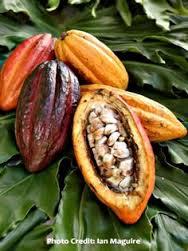 Theobroma_cacao-frutos